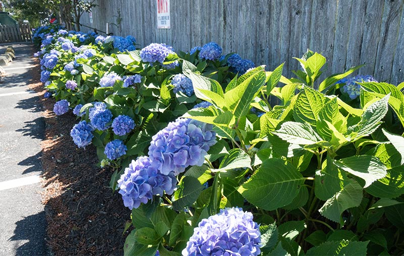 Hydrangeas by Bay Ave Plant Company